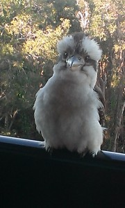 Kitten the Kookaburra. SO FLUFFY. (Photo: mine)